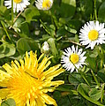 Dandy With The Daisies by Jan Noblitt