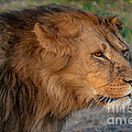 Dangerous Lion by Gary Keesler