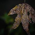 Dangling Dark Sweetgum by Maria Urso