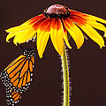 Dangling Monarch by Jean Noren