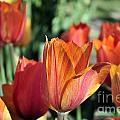 Darby's Tulip 5161 by Terri Winkler