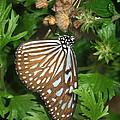 Dark Blue Tiger Butterfly by David and Carol Kelly