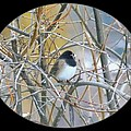 Dark- Eyed Junco by Will Borden