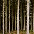 Dark Forest At Kielder by David Head