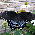 Dark Form Female Tiger Swallowtail by John Thornton