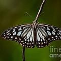 Dark Glassy Tiger Butterfly On Branch by Imran Ahmed
