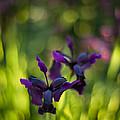 Dark Irises by Mike Reid