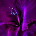 Dark Knight Purple Gladiola Flower by Jennie Marie Schell