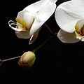 Dark Orchid by Carol Montoya