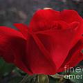 Dark Red Rose by Arlene Carmel