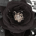 Dark Rose by Scott Hill
