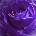 Dark Secrets Purple Rose by Jennie Marie Schell