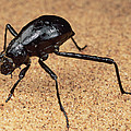 Darkling Beetle Bends Down To Drink Dew by Mark Moffett