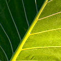 Darkness And Light - Elephant Ear Leaf Details by Mark Tisdale
