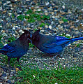 Darling I Have To Tell You A Secret-sweet Stellar Jay Couple by Eti Reid