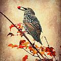 Darling Starling by Kerri Farley