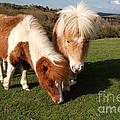 Dartmoor Ponies  by Rob Hawkins