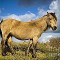 Dartmoor Pony by Lee Avison
