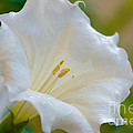 Datura Hybrid White Flower by Michael Moriarty