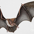 Daubentons Bat Myotis Daubentonii - Murin De Daubenton-murcielago Ribereno-vespertilio Di Daubenton by Urft Valley Art