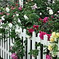David Austin Roses Chelsea Flower Show by Ros Drinkwater