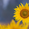 Dawn Light On Sunflower  by Tim Gainey