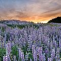 Dawn Of Lupine by Greg Nyquist