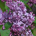 Dawns Lilacs by Deborah Benoit