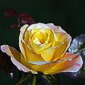 Day Breaker Rose by Kate Brown