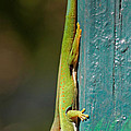day geckos from Madagascar 1 by Rudi Prott