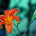 Day Lily 3 by Jim Vance