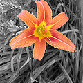 Day Lily by Brent Leslie