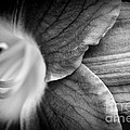 Day Lily Detail - Black And White by Kenny Glotfelty