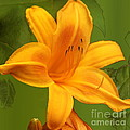 Day Lily by Linda C Johnson