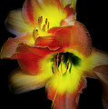 Day Lily On Black by Mike Nellums