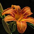 Day Lily by Robert Mitchell