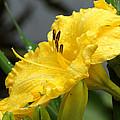 Daylilies Abound by Kim Pate