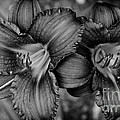 Daylilies Black And White by Andrea Anderegg