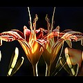 Daylily Doubled by Alice Gipson