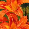 Daylily Duo  by Regina Geoghan