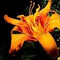 Daylily by Eric Noa