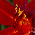 Daylily Fire by Sharon Talson