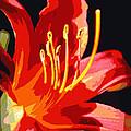 Daylily Flame by Carol Groenen