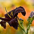 Daylily Picture 514 by World Wildlife Photography