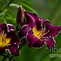 Daylily Picture 526 by World Wildlife Photography