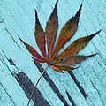 Dazzling Japanese Maple Leaf by Kathy Clark