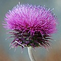 Dazzling Thistle Beauty by Christiane Schulze Art And Photography