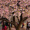 Dc Cherry Blossom Tree by Scott Fracasso
