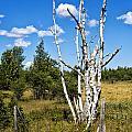 Dead Birch Trees by Timothy Hacker