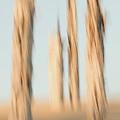 Dead Conifer Trees In Sand Dunes by Phil Schermeister